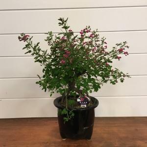 萩は「秋の七草」の一つで、万葉集でも多くの歌に詠まれています。屋久島萩は春と秋、年に2回愛らしい赤紫...