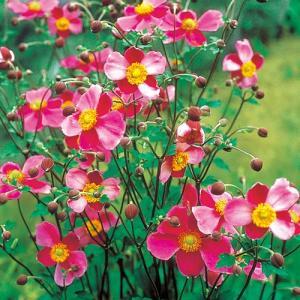 秋明菊は一度植えると、毎年秋に楚々とした上品な花を咲かせてくれる、秋の切花のほか茶花や山野草としても...