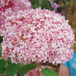 アメリカアジサイ(あじさい)「ピンクのアナベル」は、大人気「アナベル」の色違い品種です。蕾のうちから...