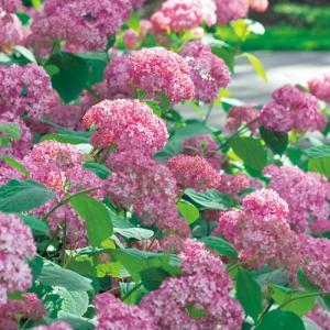 アメリカアジサイは日本のアジサイと同様に栽培が簡単で育てやすい花木です。日本のアジサイと違って春に花...