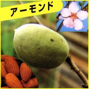 アーモンドは一本でも実が付き収穫できる、果樹栽培におすすめの苗木です。アーモンドは桃の仲間で、熟した...