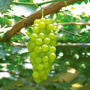葡萄(ぶどう)苗木 ヒムロット(種なしブドウ)...