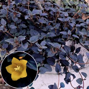 リシマキア・ペルシャンチョコレートの苗
