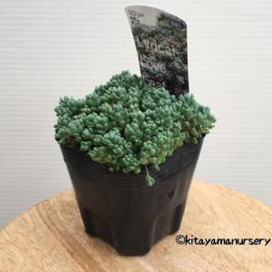 セダムは近年人気の多肉植物です。ぷにぷにとした多肉質の葉が可愛らしく、色々な種類があるので寄せ植えが...
