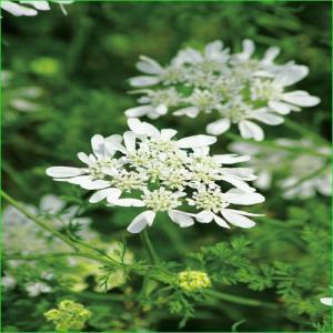 オルレア(オルラヤ)・ホワイトレースの苗