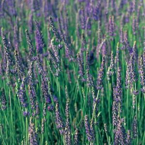 ラベンダー「スーパー」は、ラバンディン系の中では開花期が早く、花期が長いラベンダーです。ラバンディン...