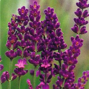 ラベンダー(ロイヤルパープル)は香りのよいイングリッシュラベンダー系品種です。花は濃紫色で花穂は長く...