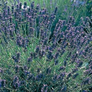 ラベンダー ヒドコートは濃紫色の花の小型品種です。形良くまとまるので、花壇の縁取りや鉢植えに向きます...