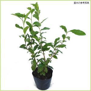 ヤブキタ茶は近年注目されている緑茶の代表的な品種です。また、秋には椿に似た白い素朴な花が咲きます。春...