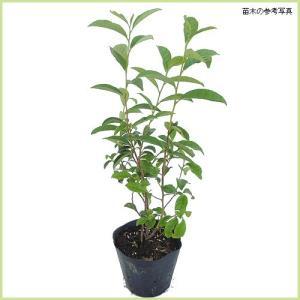 オクミドリは深みのある深い緑色でとろっとした甘み、旨みのある爽やかな良い香りのお茶になります。収穫は...