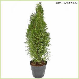 コニファー苗木 エメラルドグリーン(5号ポット植え)