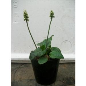 [商品サイズ]3号ポット(2〜3球)   <キジカクシ科 球根植物>  [耐寒性] やや弱い  [成...