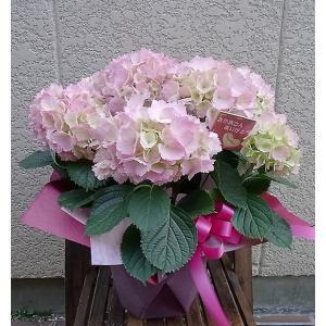 母の日ギフト アジサイ 母の日誕生日・記念日・開店・御祝の贈...