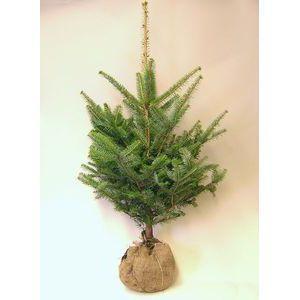 モミの木 もみの木高さ100cm本物のクリスマスツリー群馬県産高品質樅の木