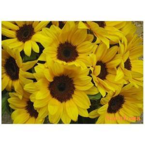 ひまわりの花束 誕生日に歳の数だけヒマワリをご希望の本数で お誕生日 御祝記念日還暦 お見舞い 御供えに高品質なヒマワリです