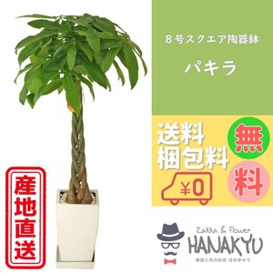 送料無料 8号 スクエア陶器鉢 人気の観葉植物 おしゃれ パキラ 開店祝いなどのギフトにピッタリ 受け皿付き 大型 高さ約110cm|hanakyu