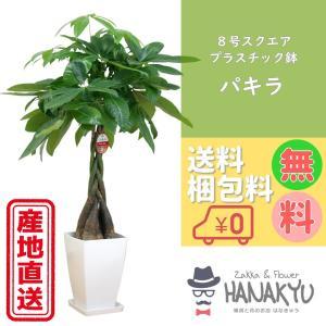 送料無料 8号 スクエアプラスチック鉢 人気の観葉植物 おしゃれ パキラ 開店祝いなどのギフトにピッタリ 受け皿付き 大型 高さ約110cm|hanakyu