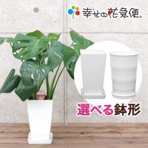 観葉植物 モンステラ6号角プラスチック鉢...