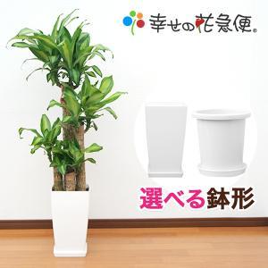 予約販売 観葉植物 幸福の木 8号プラスチック鉢...