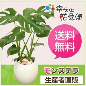 観葉植物 モンステラ6号ボール陶器鉢(白) 人気 インテリア 新築祝い