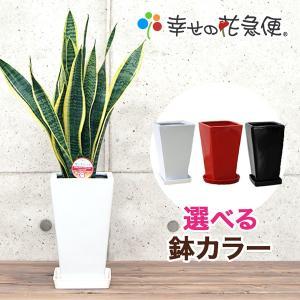 観葉植物 サンスベリア 5号角陶器鉢(白) 新築祝い