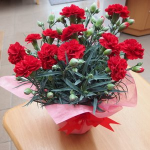 母の日 カーネーション 赤 花ギフト 5号鉢 フラワーギフト 鉢花|hanaland87