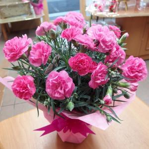 母の日 カーネーション ピンク 花ギフト 5号鉢 フラワーギフト 鉢花|hanaland87