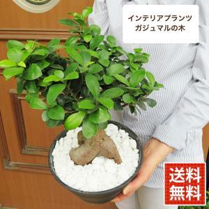 敬老の日 遅れてごめんね 2021 ギフト プレゼント 観葉植物 gift ガジュマル (カジュマルの木) 鉢植え 植え替え不要 7号鉢 常緑樹 幸福の木 全国送料無料|hanamankai