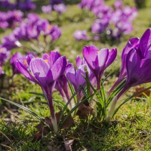 クロッカス 花 球根 秋植え冬植え 春咲き 水栽培にもフラワーレコード  10球パック イングリッシュガーデン hanamankai