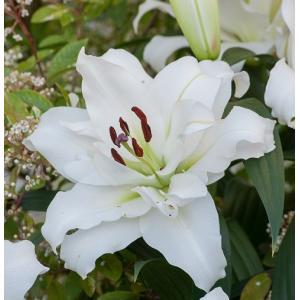 オリエンタルリリー 八重咲きカサブランカ ホワイトアイズ 1球保湿剤入りパック ゆり ユリ 百合 秋植え 冬植え 春咲き 球根 イングリッシュガーデン hanamankai