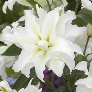 オリエンタルリリー 八重咲き 花 球根 ゆり ユリ 百合 マイウエディング 1球保湿剤入りパック 春咲き イングリッシュガーデン hanamankai
