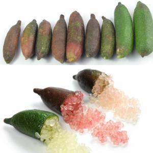 フィンガーライム 果樹苗 柑橘類 苗木 5号接ぎ木 3年生 同梱出荷不可 キャビアライム hanamankai