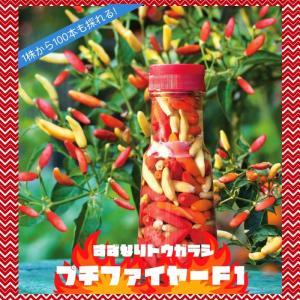 トウガラシ 苗 野菜苗 旨辛鈴なりとうがらし プチファイヤーF1 3号 (直径9cm) ポット苗 唐辛子 簡単栽培 多収穫|hanamankai