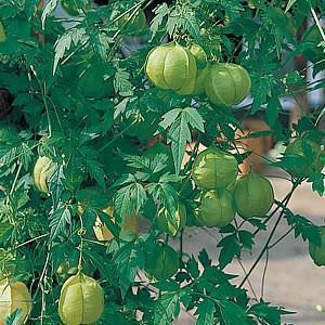 フウセンカズラ 種 花 風船かずら バルーンパイン 鉢植え 緑のカーテン 約20粒 一年草 第4種または一般郵便発送OK|hanamankai