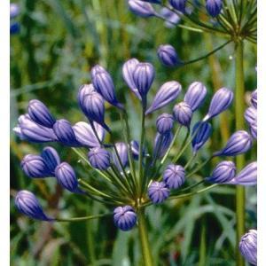 アガパンサス 花 苗 宿根草 ガーデニング 夏 寄せ植え 半八重咲きフローラプレノ 直径15cmポット苗 hanamankai