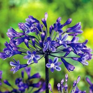 アガパンサス 花 苗 黒 宿根草セナ 15cmポット苗 夏の花|hanamankai