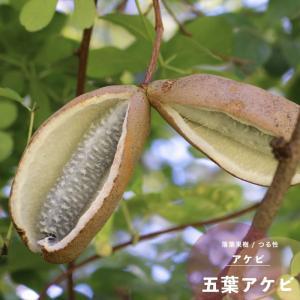 果樹 あけび 苗木 五葉アケビ 4.5号 13.5cm ポット つる性 落葉樹 秋 hanamankai
