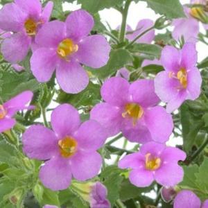 バコパ ガリバー ピンク 1株 宿根草 寄せ植え グランドカバー 季節の鉢花に