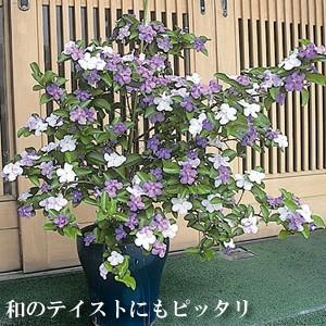 咲いたらジャスミンの様な素晴らしい香りが楽しめます。 しかも、おもしろいのは最初は青紫の花が次第に白...