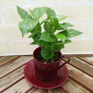 コーヒーの木 コーヒーカップ植え・皿付き hanamankai