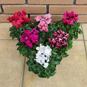 ガーデンシクラメン 花 苗 鉢 寄せ植え 7色から選べる 9cmポット 成長促進ホルモン剤不使用 特別栽培品の画像