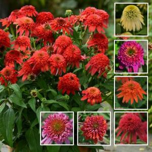 エキナセアは花びらの形状はキク科なので菊やマーガレットに似ていますが花の中心部分がボコッと球状に盛り...