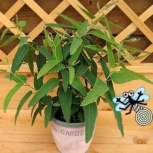 レモンユーカリ 苗木 1株 非耐寒性常緑高木 庭木 虫除け 2切り戻し処置済み|hanamankai