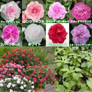 バラ咲きインパチェンスのベストセラー「カリフォルニアローズ フィエスタ」。 春から秋まで長く楽しめて...