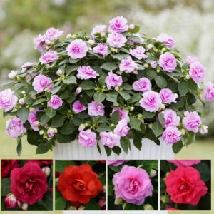 インパチェンスの改良種 花 苗 カリフォルニアローズ グランデ 1株お好きな色を選んでね hanamankai