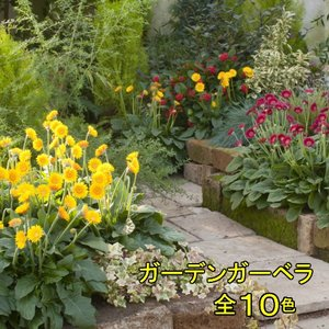 ガーベラ 花 苗 宿根ガーデンガルビネア 選べる10色 1株 hanamankai