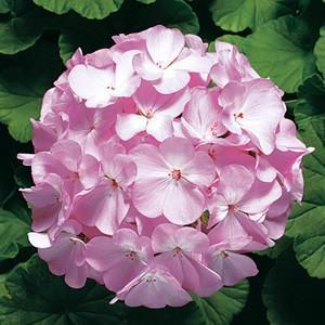 実生系のゼラニュームの中では 花色が鮮やかで花付きがよく四季咲き性も高い品種。 小葉でコンパクトなの...