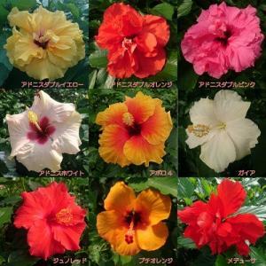 ハイビスカス 花 鉢植え ロングライフシリーズ 夏 春 秋 5号 晩秋まで咲き続け毎年楽しめる その2 hanamankai
