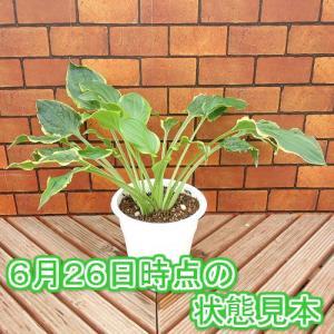 ギボウシ 花 苗 ホスタソー・スイート 5号鉢|hanamankai