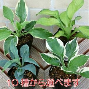 ホスタ(ギボウシ)擬宝珠 花 苗 選べる10種類 1株 シェードガーデン 日陰 丈夫で増える|hanamankai